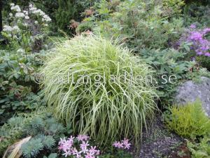 Carex muskingumensis 'Silberstreif'', Palmbladsstarr