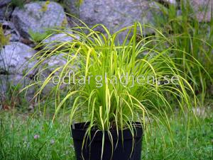 Carex elata 'Aurea', Bunkestarr, gulvariegerad