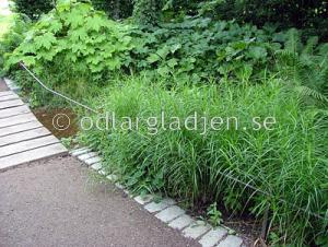 Carex muskingumensis, Palmbladsstarr