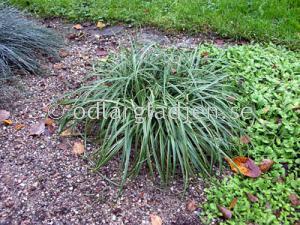 Carex flacca 'Bias', Slankstarr