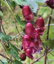 Aconitum hemsleyanum 'Red Wine'