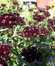 Dianthus barbatus 'Nigricans'