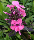 Phlox paniculata 'Sweet Summer Dream'