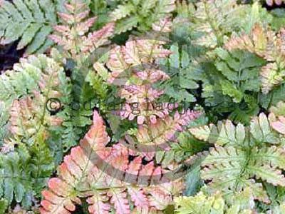 Blodbräken - Dryopteris erythrosora
