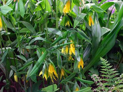 Guldrams -- Uvularia grandiflora
